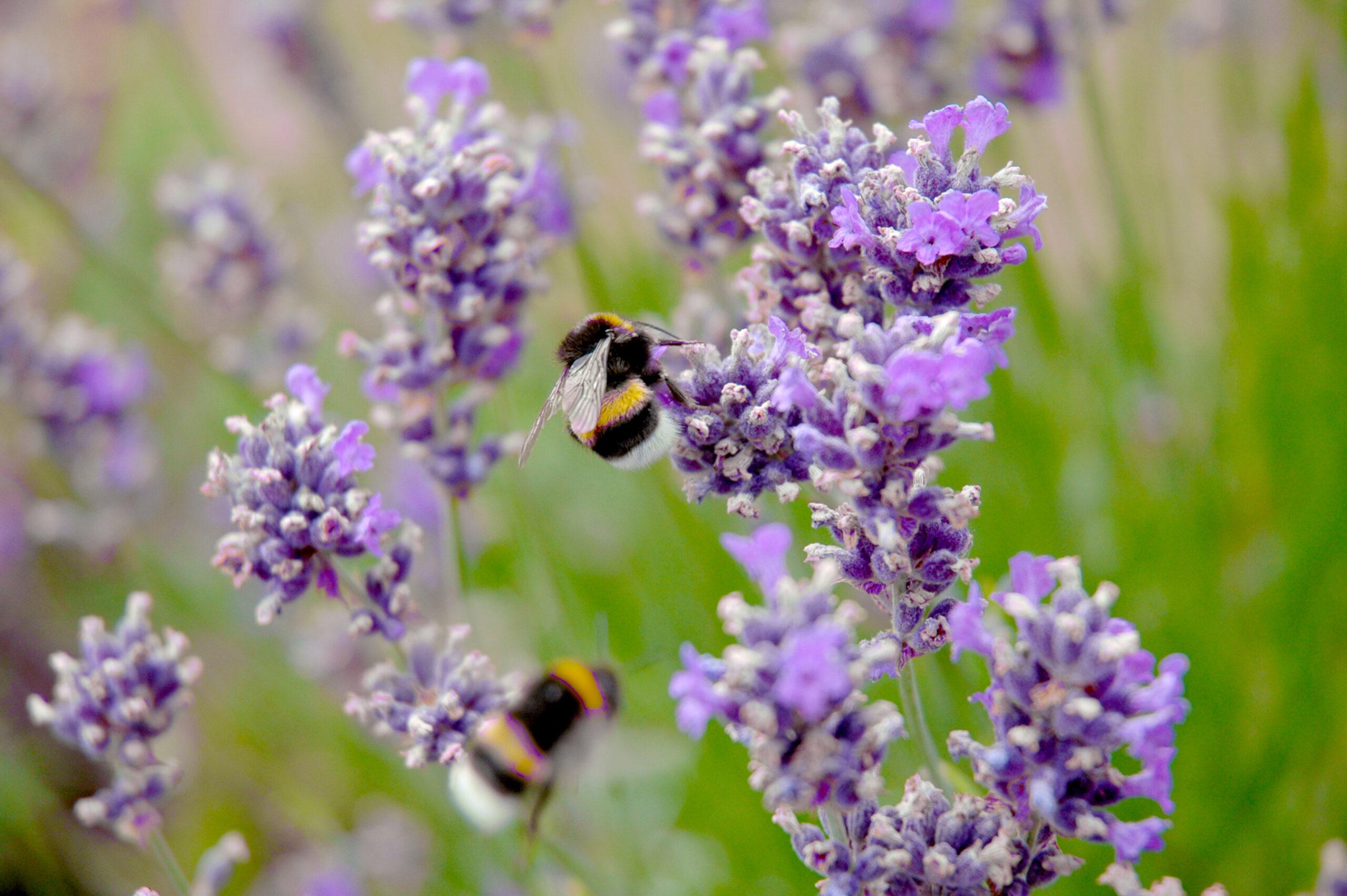 bijen in de falgatuinen
